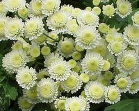 the chrysanthemums essay outline Prompt: how do the chrysanthemums as well as other symbols throughout the short story show women's role in society a potential for equality.